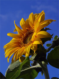 selenium-sunflower.jpg