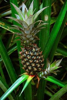 Bromelain comes from pineapples