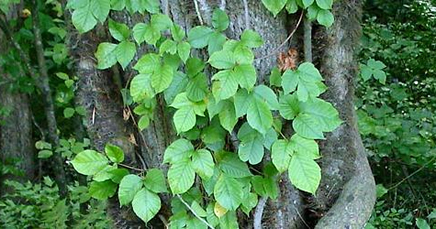 Homeopathic remedies for poison ivy
